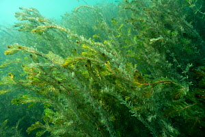 Watermilfoil (Myriophyllum spicatum) at the beginning of autumn, in a strong underwater current, Lake Neuchatel. Close to Boudry, Canton of Neuchatel, Switzerland, September. Photographed for The Fres...  -  Michel Roggo