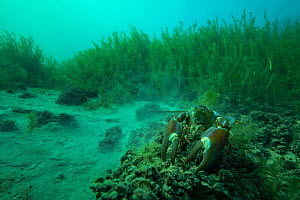 Signal crayfish (Pacifastacus leniusculus), a North American species of crayfish, introduced to Europe in the 1960s. Lake Neuchatel, close to Boudry, Canton of Neuchatel, Switzerland. October.  Photo...  -  Michel Roggo