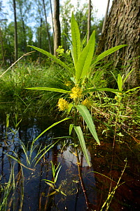 Tufted loosestrife (Lysimachia thyrsiflora), emerging from woodland pond, Shatsky National Natural Park, Volyn Oblast, Ukraine, May.  -  Will Watson