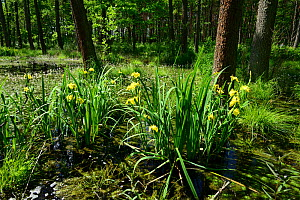 Yellow Iris (Iris pseudacorus), natural woodland pond, Shatsky National Natural Park, Volyn Oblast, Ukraine, May.  -  Will Watson