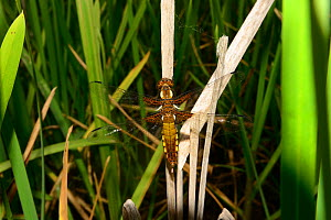 Four-spot chaser dragonfly (Libellula quadrimaculata), recently emerged resting on old Bulrush (Typha latifolia) stem, pond, Milton Keynes, Bcukinghamshire, England, June 2019.  -  Will Watson