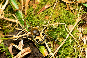 Bee chafer (Trichius fasciatus), ancient deer park, Herefordshire, England, June. - Will Watson