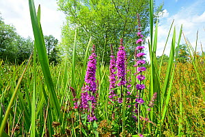Purple Loosestrife (Lythrum salicaria) growing beside a kettle hole pond, Waterloo Nature Reserve, Herefordshire, England, July.  -  Will Watson