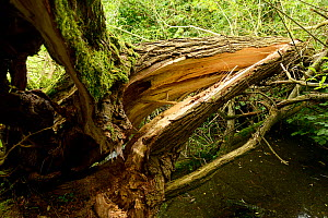 Collapsed and split Crack Willow (Salix fragilis), kettle hole pond, Herefordshire, England, July.  -  Will Watson