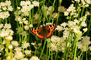 Small tortoiseshell butterfly (Aglais urticae) on Tubular water dropwort (Oenanthe fistulosa) in rush pasture, Herefordshire, England, July.  -  Will Watson