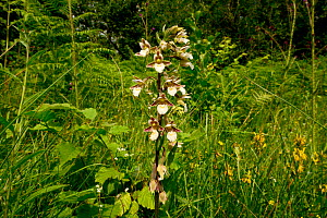 Marsh helleborine (Epipactis palustris), Herefordshire, England, July  -  Will Watson
