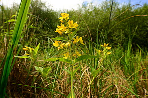 Yellow loosestrife (Lyisimachia vulgaris), Moccas Park National Nature Reserve, Herefordshire, England.  -  Will Watson