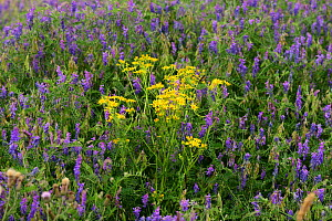 Common ragwort (Senecio jacobaea) surrounded by Tufted vetch (Vicia cracca), on a brownfield site, Worcester, England, July.  -  Will Watson