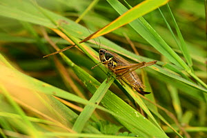 Roesel's Bush Cricket (Metrioptera roeselii) female on grass blade, brownfield site, Worcestershire, England, July.  -  Will Watson
