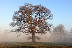 Oak tree (Quercus robur) in winter mist, parkland, Herefordshire Plateau, England, February.  -  Will Watson
