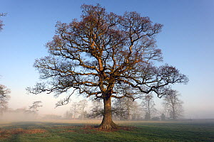 Oak tree (Quercus robur) on a misty winter morning, parkland, Herefordshire Plateau, England, February.  -  Will Watson