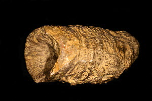 Fossilised Rugose Coral (Omphyma sp.) Silurian Period, Much Wenlock Limestone, 428 to 433 million years of age, Paul Olver Collection, England.  -  Will Watson