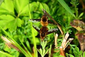 Dark-edged Bee-flies (Bombylius major) mating, Shrawley Wood, SSSI, Worcestershire, England, April.  -  Will Watson