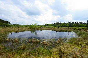 Oligotrophic pool at Chartley Moss schwingmoor or floating peat bog with Common Cotton-grass ( Eriophorum angustifolium) and Sphagnum bog moss, AONB, SSSI and National Nature Reserve, Staffordshire, E... - Will Watson