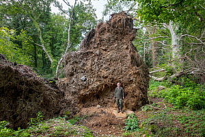 Giant root plate of Beech tree(Fagus sylvatica) fallen during a storm in 2017, Castlewellan Forest Park, County Down, Northern Irleand  -  Will Watson