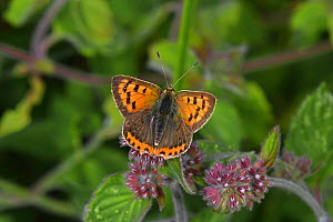 Small Copper butterfly (Lycaena phlaeas) basking on Water Mint (Mentha aquatica), wet meadow, Herefordshire, England, August  -  Will Watson