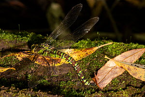 Southern Hawker (Aeshna cyanea) egg-laying on moss-covered fallen trunk, Blakemere, Herefordshire, England, September.  -  Will Watson