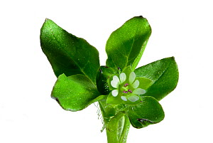 Chickweed (Stellaria media) flower magnified 10x, focus stacked, garden, Herefordshire, England, May.  -  Will Watson