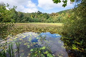 Pond on Castlewellan Forest Park with Yellow Water-lily (Nuphar lutea), County Down, Northern Ireland, September.  -  Will Watson