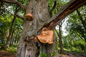 Dryad's Saddle (Polyporus squamosus) on Beech (Fagus sylvatica), Castlewellan Forest Park, County Down, Northern Ireland, September  -  Will Watson