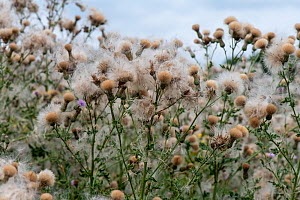 Creeping thistle (Cirsium arvense), seed heads, brownfield site, Worcester, England, August. - Will Watson