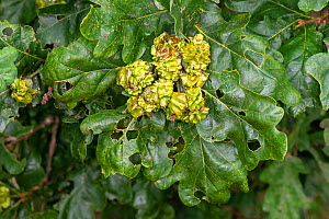 Knopper galls on English Oak (Quercus robur), caused by the gall wasp (Andricus quercuscalicis), hedgerow, Worcestershire, England, August.  -  Will Watson