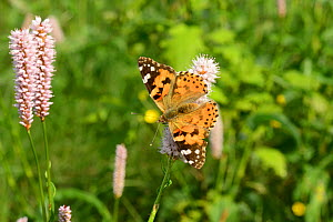 Painted lady butterfly (Vanessa cardui) on Common bistort (Periscaria bistorta), Volyn Oblast, Ukraine, May. - Will Watson