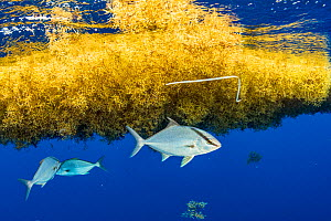Almaco Jack fish (Seriola rivoliana) take shelter under a sargassum matt with a plastic packing tie in it. Image made in the Sargasso Sea, Atlantic Ocean, International Waters. - Shane Gross