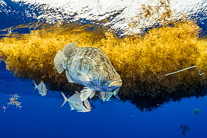 A large tripletail (Lobotes surinamensis) and Almaco jackfish (Seriola rivoliana) live under the cover of sargassum in the Sargasso Sea. Note plastic packing tie in the right of the frame. Image made... - Shane Gross