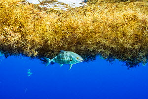 Jack fish (Eriola dumerili) taking shelter under a matt of sargassum in the Sargasso Sea. - Shane Gross