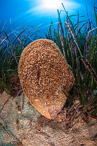 Noble pen shell (Pinna nobilis) is the largest bivalve in the Mediterranean. It is mostly found in seagrass meadows (Posidonia oceanica). National Marine Park of Alonissos Northern Sporades, Greece  -  Dimitris Poursanidis