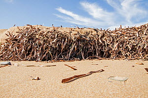 Dried mat of Neptune seagrass (Posidonia oceanica) leaves washed ashore. If left then they can protect the beach from erosion and the loss of important ecosystem services, Arina beach, Heraklion, Cret...  -  Dimitris Poursanidis