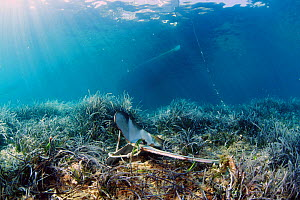 Neptune's seagrass (Posidonia oceanica) meadow damaged by repeated anchorage by leisure boats. National Marine Park of Alonissos, Northern Sporades, Greece  -  Dimitris Poursanidis