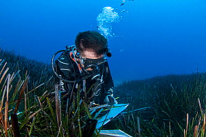 A researcher collects data from the seagrass meadows (Posidonia oceanica) in the Samaria National Park, Chania, Crete. The continous monitoring of the ecological status of the seagrass meadows is an i...  -  Dimitris Poursanidis