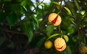 Ripe nutmeg (Myristica fragrans) fruits ready for harvesting. Visible inside is the nut covered with red mace. Dominica, Eastern Caribbean, September 2019 - Derek Galon