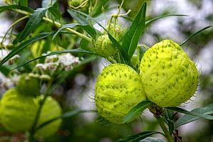 Balloon plant (Gomphocarpus physocarpus) with its striking ball-like fruits containing lots of air.  Dominica, West Indies. June. - Derek Galon