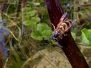Common wasp (Vespula vulgaris) drinking water from a garden pond, Wiltshire, UK, July.  -  Nick Upton