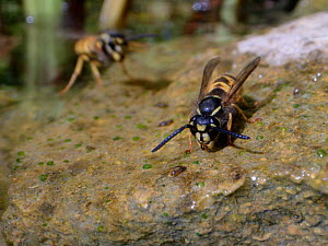 Common wasp (Vespula vulgaris) drinking water on the margins of a garden pond as another flies in, Wiltshire, UK, July.  -  Nick Upton