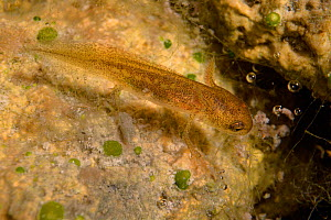 Palmate newt (Lissotriton helveticus) nymph or eft with external gills and legs in a garden pond in daylight, Wiltshire, UK, July.  -  Nick Upton