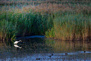 Great white egret (Egretta alba) hunting for fish in a marshland pool near a group of Coots (Fulica atra) and dense red beds, RSPB Ham Wall reserve, Somerset, UK, October.  -  Nick Upton