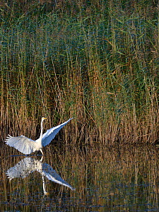 Great white egret (Egretta alba) with its wings raised as it hunts for fish in a marshland pool near dense red beds at dusk, RSPB Ham Wall reserve, Somerset, UK, October.  -  Nick Upton