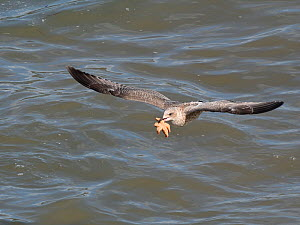 Juvenile Herring gull (Larus argentatus) flying with a Common starfish (Asterias rubens) caught on a very low tide, The Gower, Wales, UK, September.  -  Nick Upton