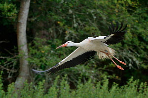 Captive reared juvenile White stork (Ciconia ciconia) flying from a temporary holding pen on release day with a GPS transmitter on its back, Knepp Estate, Sussex, UK, August 2019.  -  Nick Upton
