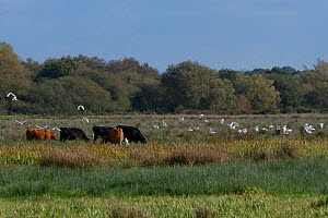 Cattle egret (Bubulcus ibis) flock flying past cattle grazing on marshy pastureland, Somerset Levels, UK, October 2019. Cattle egrets have been wintering in the UK in increasing numbers in recent year...  -  Nick Upton