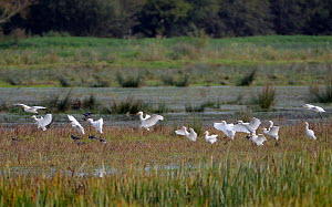 Cattle egret (Bubulcus ibis) flock landing on marshy pastureland beside a group of Lapwings (Vanellus vanellus), Somerset Levels, UK, October 2019. Cattle egrets have been wintering in the UK in incre...  -  Nick Upton