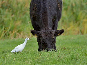 Cattle egret (Bubulcus ibis) foraging for insects flushed by a grazing Bullock (Bos taurus) on pastureland, Somerset Levels, UK, October.  -  Nick Upton