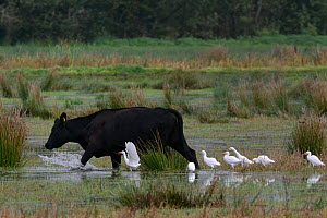 Group of Cattle egrets (Bubulcus ibis) foraging for insects flushed by a Cow (Bos taurus) as it wades through flooded marshy pastureland, Somerset Levels, UK, October.  -  Nick Upton