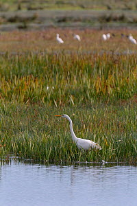 Great white egret (Egretta alba) hunting for fish in a marshland pool, with a group of Cattle egrets (Bubulcus ibis) in the background, Somerset Levels, UK, October 2019  -  Nick Upton