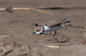 Kentish Plover (Charadrius alexandrinus) in threat pose, running fast and low to chase off an interloper. Ebro Delta sand spit, Catalonia, Spain, April.  -  Roger Powell