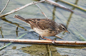 Water pipit (Anthus spinoletta) feeding amongst flotsam at the waters edge. Riet Vell Nature Reserve, Ebro Delta, Catalonia, Spain, April.  -  Roger Powell